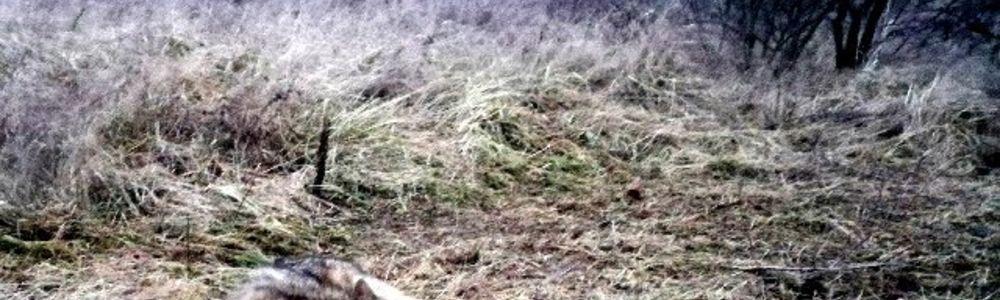 Policjanci uratowali wilka