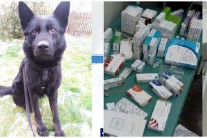 Pies Kalif doprowadził do złodzieja szczepionek przeciw COVID19 z przychodni