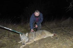 Wilk uratowany z pułapki