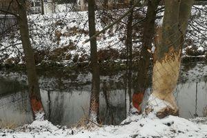 Olsztyn: Bobry niszczą drzewa nad Łyną