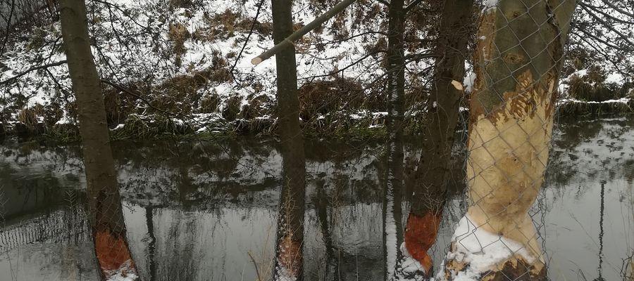 Drzewa zniszczone przez bobry w Parku Centralnym