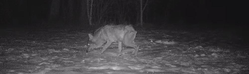 Czy wilki są zagrożeniem dla powiatu bartoszyckiego?