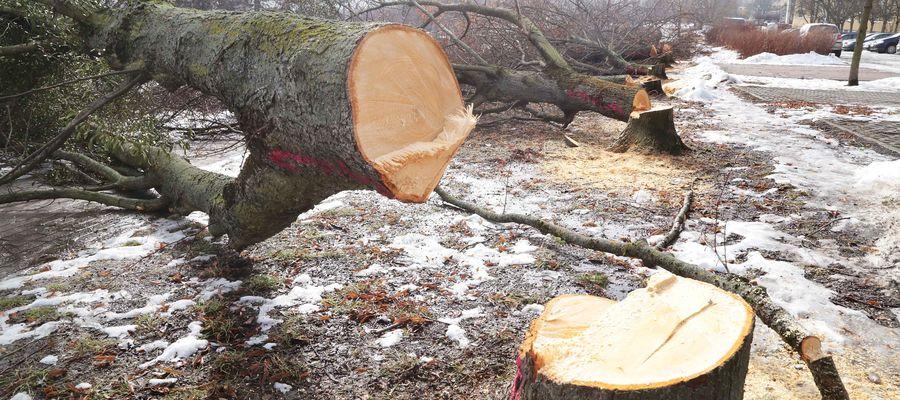 Czarę goryczy przelała masowa wycinka drzew pod rozbudowę linii tramwajowej