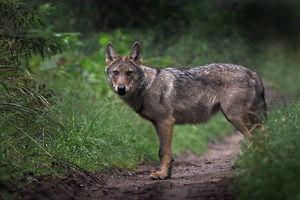 Wilk nie żywi się koniczyną