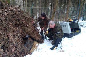 Wilk złapany w sidła trafił do Napromka