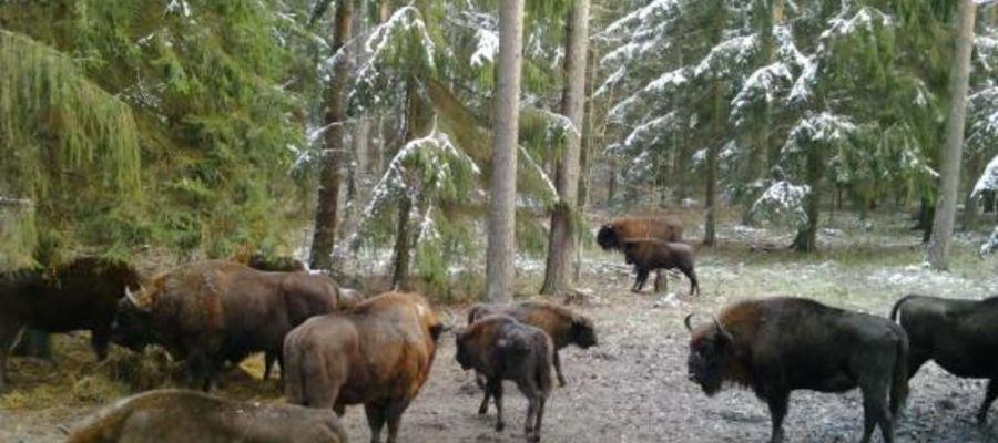 Stado żubrów na polanie żubrowej w Puszczy Białowieskiej. Zdjęcie z kamery online.