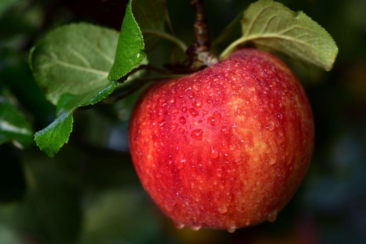 Dzięki wykorzystaniu żywej wody, jabłonie w sadzie dają wyraźnie lepsze owoce.