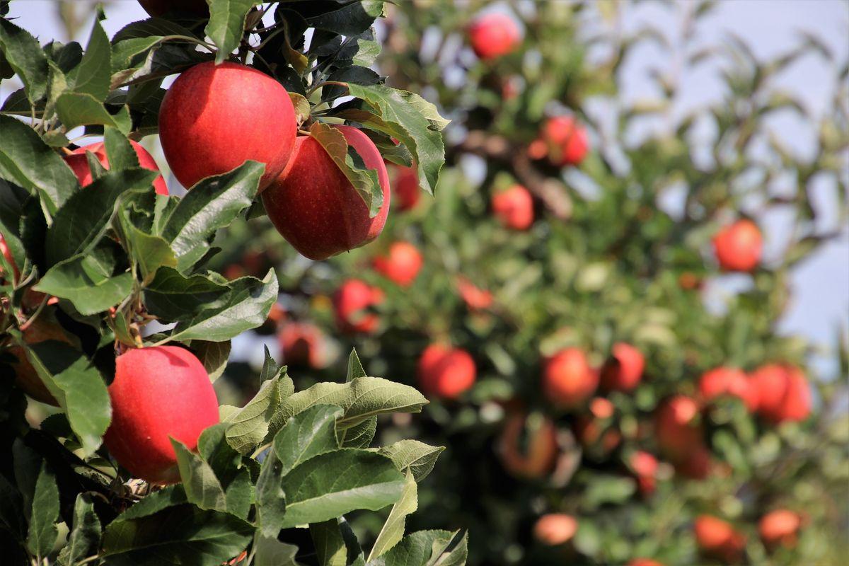 Dzięki ożywieniu wody, jabłonie w Starym Sadzie wydają smaczniejsze owoce.
