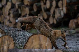 E-gazeta za zdjęcie. Z życia lisa [ZDJĘCIA]