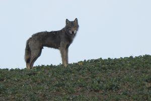 Zając i wilk