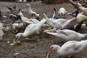 Powiatowy Lekarz Weterynarii ostrzega przed ptasią grypą