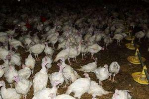 Ognisko ptasiej grypy w gminie Iłowo-Osada. W gospodarstwie 60 901 kur reprodukcyjnych!