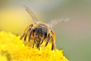 20 maja Światowym Dniem Pszczoły