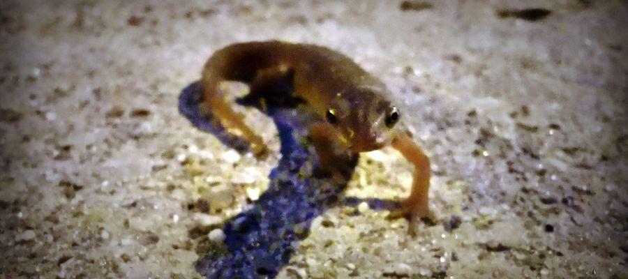 Jedna z wielu jaszczurek spotkanych podczas wieczornego spaceru w okolicach ul. Kętrzyńskiej w Bartoszycach.