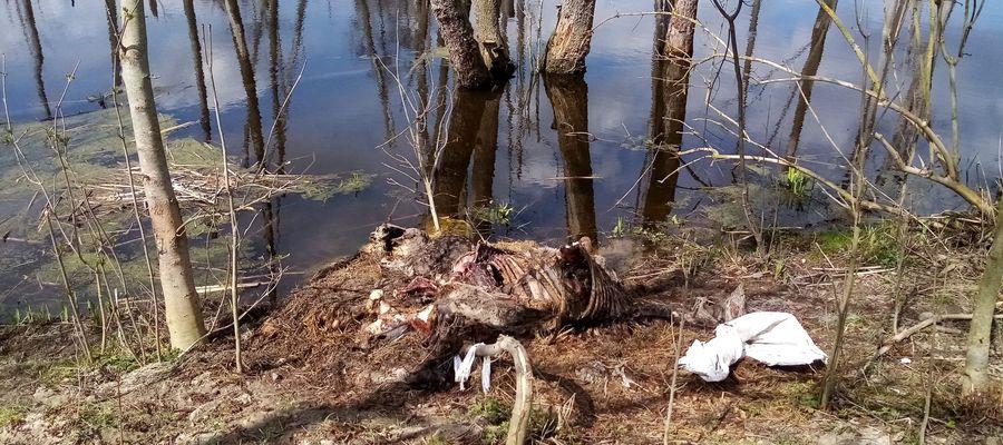 Martwe zwierzęta hodowlane na terenie Nadleśnictwa Bartoszyce