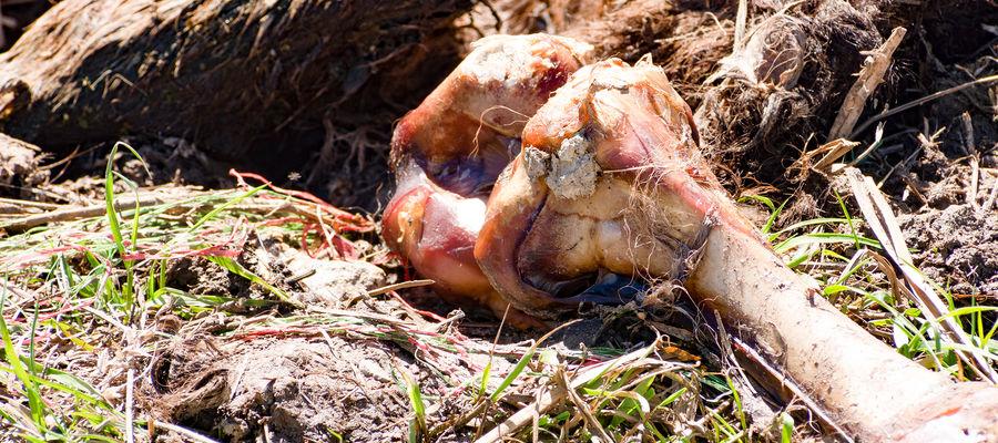 Jedno ze zwierząt miało kolczyk, który pozwolił ustalić właściciela stada