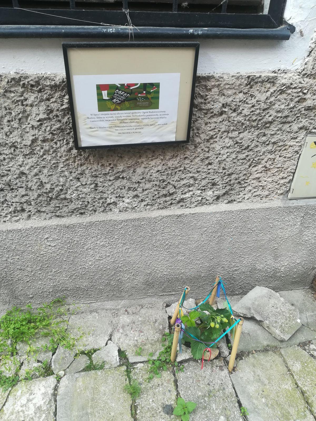 W czerwcu 2021 roku truskawka rebeliantka przy ul. Rodziewiczówny odwdzięczyła się owocami