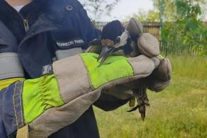 Strażacy z Kieźlin uratowali dzięcioła
