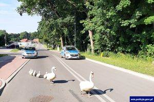 Policjanci z Kętrzyna przeprowadzili rodzinę łabędzi przez drogę. Poświęcili swoje kanapki