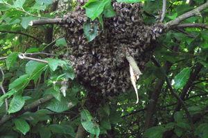 Dziki rój pszczół z Jakunówka ocalony
