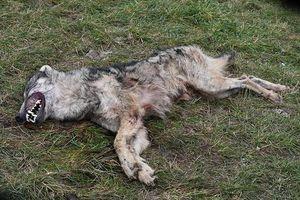 Sprawa o zabicie wilka umorzona. WWF Polska składa zażalenie