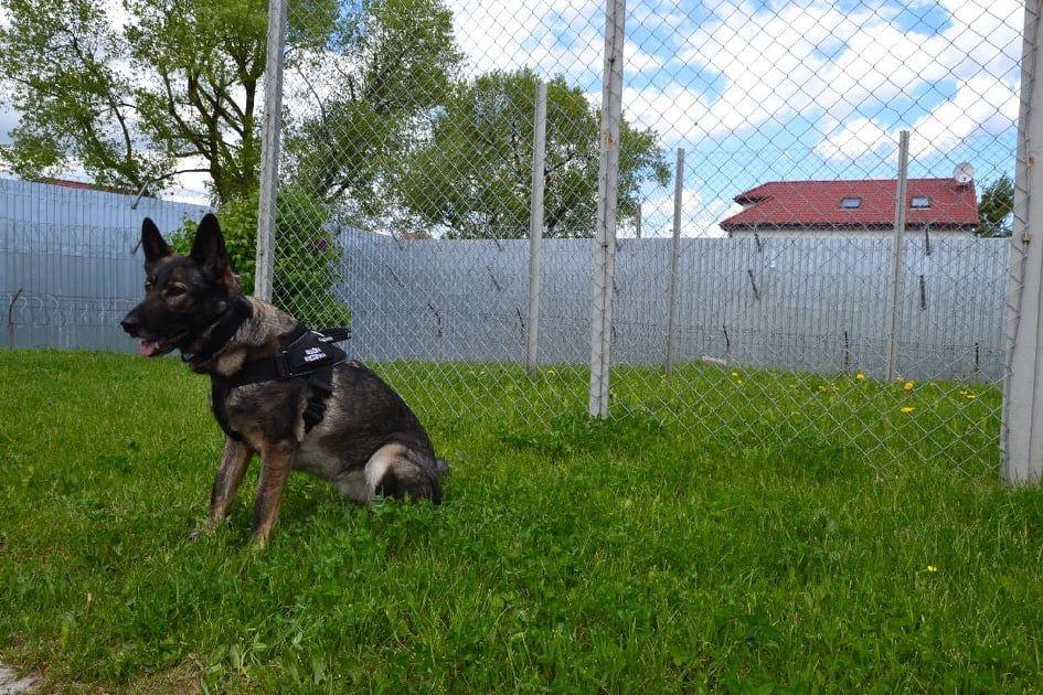 Neris - pies pełniący służbę w Areszcie Śledczym w Olsztynie