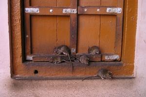 Grozi nam plaga szczurów w Olsztynie?