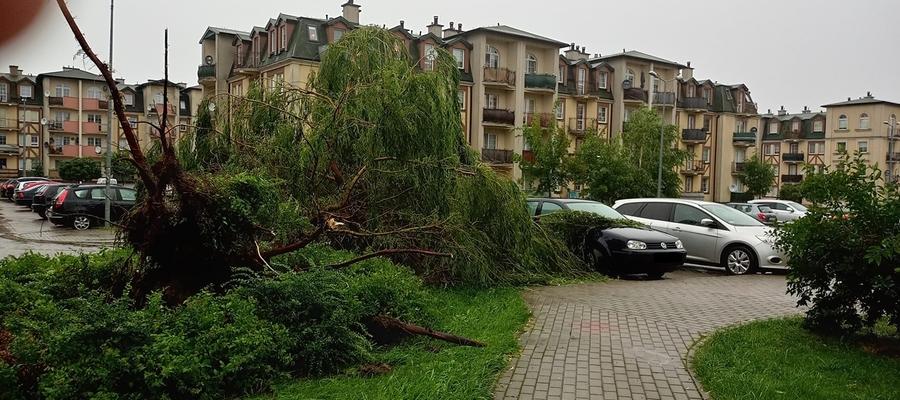 Wyrwane z korzeniami drzewo na os. Piastowskim w Iławie