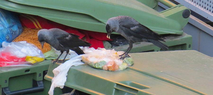 Ptaki rozrzucają pozostawione na śmietnikach jedzenie, które przyciąga szczury