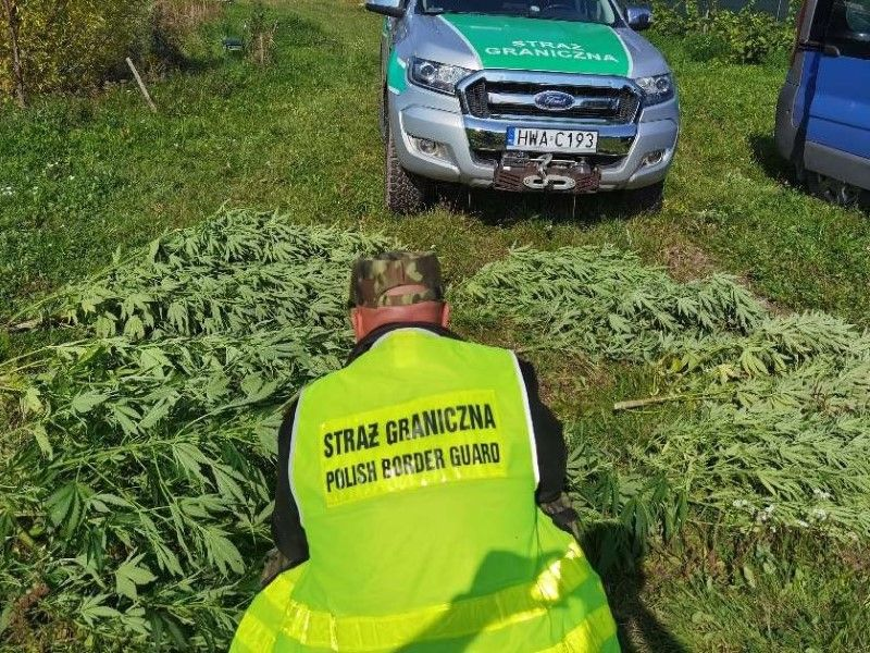 Marihuana rosła wśród uli