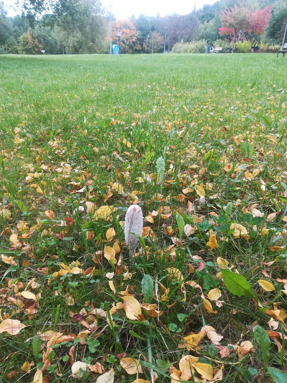 Czernidlak kołpakowaty w Parku Centralnym