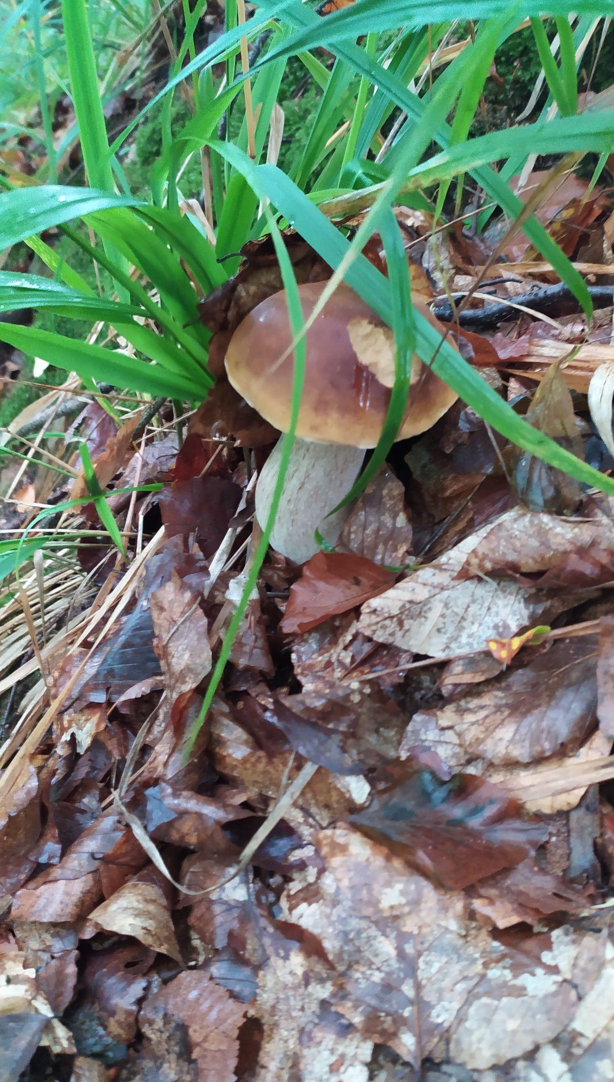 Grzybobranie w lesie nieopodal Łęcza