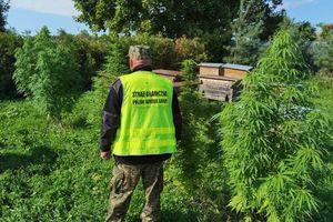 Uprawiał marihuanę w pasiece. Zajęła się nim policja z Kętrzyna