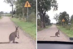 Kangur na mazurskich drogach? To możliwe [VIDEO]