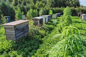 Marihuana na dobrą kondycje pszczół?!