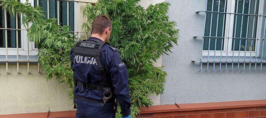 20 krzaków marihuany i susz znaleziono u 19-latka