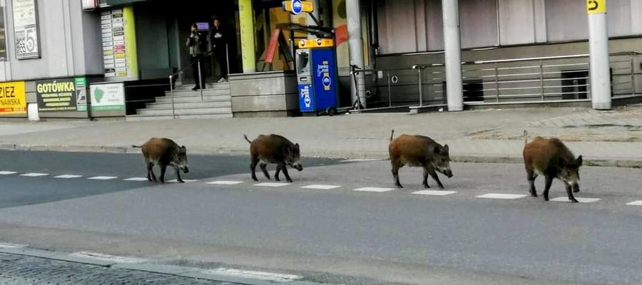 Dziki czują się pewnie w Olsztynie
